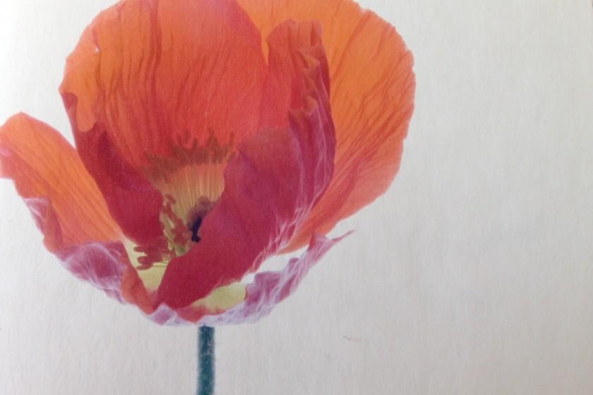 California Poppy by Meigan Canfield
